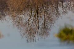 Отражение дерева зимы без листвы на поверхности воды Стоковые Изображения