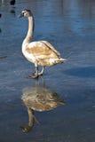 Отражение лебедя Стоковое Изображение