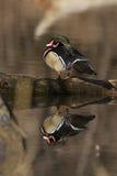 Отражение деревянной утки Стоковые Изображения