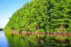 Отражение леса мангровы Стоковые Фотографии RF
