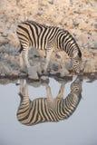 Отражение зебры в waterhole Стоковое Фото