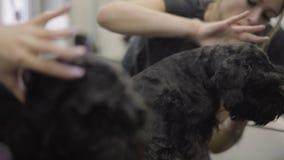 Отражение зеркала groomer позаботится о длинные волосы собаки держа ухо любимца Элемент холить Закройте вверх  сток-видео