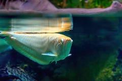 Отражение золотых рыб на поверхности воды На верхней части отражение золотых больших рыб в поверхности воды Стоковые Изображения RF