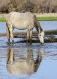 Отражение дикой лошади Salt River Стоковая Фотография RF