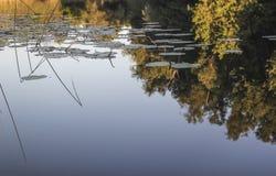 Отражение и лилии воды Стоковое Фото
