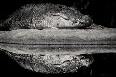 Отражение крокодила стоковые изображения rf