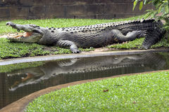 отражение крокодила Стоковая Фотография