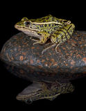 отражение леопарда лягушки Стоковое Изображение