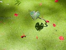 отражение лотоса листьев Стоковая Фотография