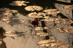 отражение лотоса листьев Стоковое Изображение RF