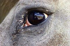 отражение лошади глаза стоковое изображение rf