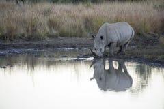 Отражение носорога стоковое фото rf