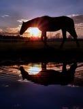 Отражение лошади на заходе солнца Стоковое Фото