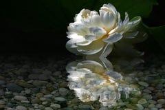 Отражение пруда лотоса белого лотоса стоковое изображение rf