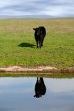 отражение ряда коровы Стоковые Фотографии RF