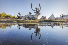 Отражение северного оленя Стоковые Изображения RF
