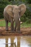отражение слона стоковое изображение