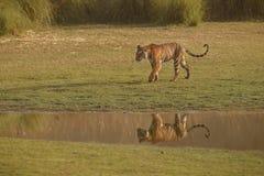 Отражение тигров Стоковое Изображение RF