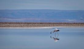 Отражение фламинго на Chaxa Саларе, пустыне Atacama - Чили Стоковое фото RF
