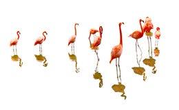 Отражение фламинго Стоковые Фото