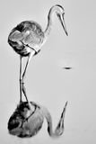 Отражение Egret Стоковые Изображения
