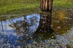 Отражение ` s дерева в воде Стоковое Изображение