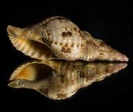 Отражение Seashell раковины на зеркале Стоковая Фотография