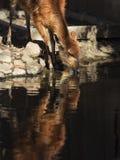 Отражение Sitatunga в воде Стоковые Фото