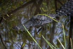 Отражения американского аллигатора с травой Стоковые Фотографии RF