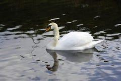 Отражения безгласного лебедя Стоковая Фотография RF