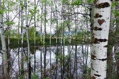 Отражения дерева Aspen около Missoula, Монтаны Стоковые Изображения