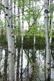 Отражения дерева Aspen около Missoula, Монтаны Стоковая Фотография