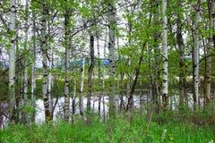 Отражения дерева Aspen около Missoula, Монтаны Стоковое фото RF