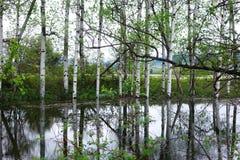 Отражения дерева Aspen около Missoula, Монтаны Стоковое Изображение RF