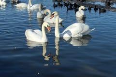 Отражения лебедей Стоковые Фото