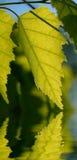 отражения листьев березы Стоковая Фотография RF