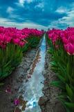 Отражения тюльпана II Стоковые Фото