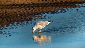 Отражения чайки Стоковые Фотографии RF