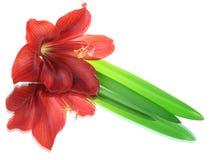 отражения hippeastrum цветка Стоковая Фотография RF