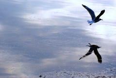 Отражения Seagul Стоковые Фотографии RF