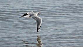 отраженная вода чайки Стоковая Фотография RF