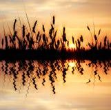 отраженная пшеница Стоковое Изображение