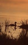 отраженная утка Стоковое Изображение