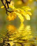 отраженные листья Стоковая Фотография