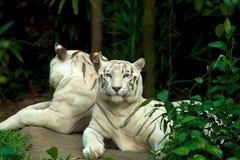 Отраженный тигр Стоковые Фотографии RF