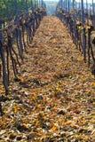 отрежьте вино виноградин Стоковая Фотография RF