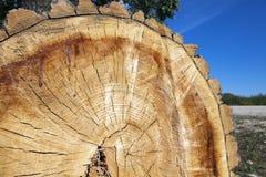 Отрежьте вниз с дерева, конца-вверх Стоковые Фотографии RF