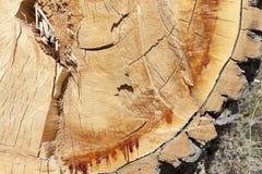 Отрежьте вниз с дерева, конца-вверх Стоковые Изображения
