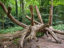 Отрежьте вниз с дерева с много ветвей Стоковая Фотография RF