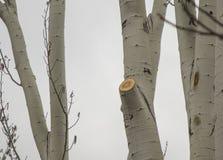 Отрежьте деревья березы стоковое изображение rf